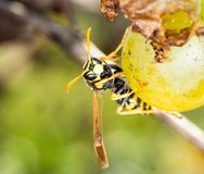 Wasp eating white grape on green background royalty free stock image