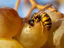 Wasp. A wasp eating yellow grapes Royalty Free Stock Photos