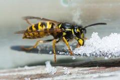 Wasp eats sugar Stock Photo
