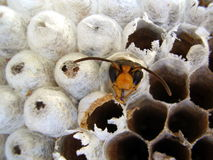 Wasp emerging from nest. Close up of a wasp emerging from a wasps nest - showing empty cells on the right where wasps have already left and young wasps about to royalty free stock photo