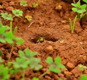 Wasp in the entrance hole at nest Stock Images
