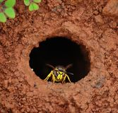 Wasp in the exit hole of the underground nest Royalty Free Stock Photography
