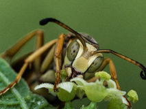 Wasp Extracts Pollen from Flower Royalty Free Stock Photos