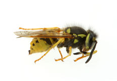 Wasp - extreme macro Stock Images