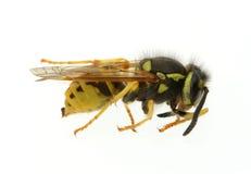 Wasp - Extreme Macro Stock Images