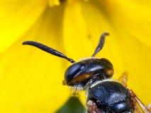Wasp extreme macro Stock Image
