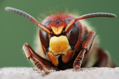 Wasp. Eye to eye with the wasp Stock Photos