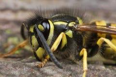 wasp för closeupkrypmakro Fotografering för Bildbyråer