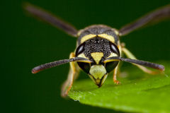 Wasp face Stock Photos