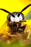 Wasp face Stock Photo