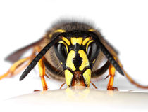 Wasp face closeup on white Royalty Free Stock Photo