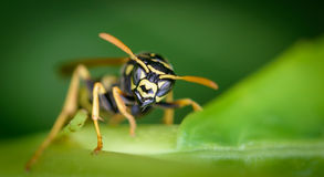 Wasp face to face. Wasp facing the camera. Outdoor with green background. Wasp is illuminated by a lightbeam from top left Royalty Free Stock Photos