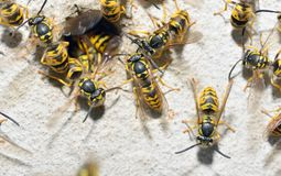 Wasp Family and nest hole. Macro Wasp Family and nest hole Royalty Free Stock Photography