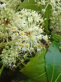 Wasp on Fatsia Japonica Flowers Stock Image