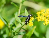 Black and white potter wasp on wildflower royalty free stock images