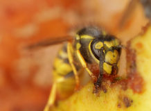 Wasp feeding on apple Stock Image