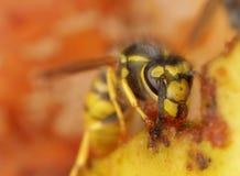 Wasp feeding on apple Stock Image