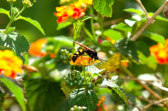 Wasp feeding on Lantana. A paper wasp with the coloring of a bee feeds on lantana stock images