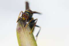 Wasp feeding from a plant Royalty Free Stock Photo
