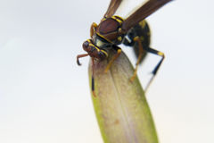 Wasp feeding from a plant Stock Photo