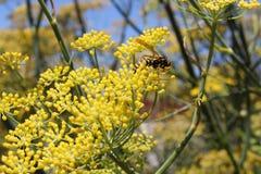 Wasp on Fennel flower. A wasp gather pollen from flower in West Australian garden Stock Photos