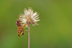 Wasp in the field Royalty Free Stock Photography