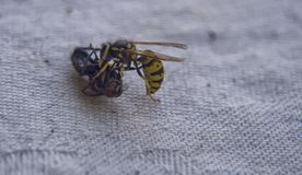 Wasp fighting with fly on the table. royalty free stock photography