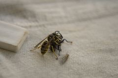Wasp fighting with fly on the table. stock photos