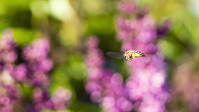 Wasp in flight on background of flowers Royalty Free Stock Photography
