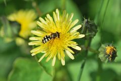 Wasp on flower Royalty Free Stock Image