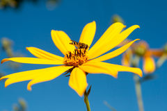 Wasp on a flower. Wasp sat down on the flower, to take portions of honey Stock Image