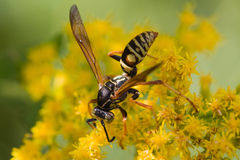 Wasp on a flower Royalty Free Stock Image