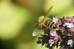 Wasp on Flower Royalty Free Stock Photo