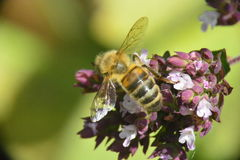 Wasp on Flower. Wasp (Bee) on pollen rich flower (Oregano) collecting nectar in the summer sunshine Stock Photography
