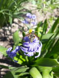 Wasp on the flower. Wasp on the blue flower spring Stock Image