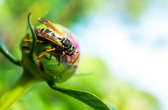 An wasp on a flower. An wasp on a close up flower Royalty Free Stock Photos