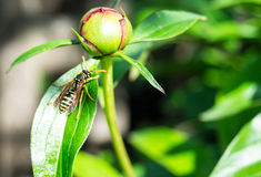 An wasp on a flower. An wasp on a close up flower Royalty Free Stock Image