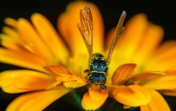 A Wasp on a Flower Close Up royalty free stock photo