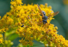 Wasp flower closeup Stock Photos