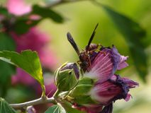 Wasp on Flower. Wasp collecting nectar from a purple flower Royalty Free Stock Photos