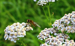 Wasp on flower Stock Image