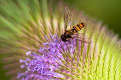 Wasp on the flower. Wasp on the dipsacus fullonum flower. Macro photography of wildlife Royalty Free Stock Photos