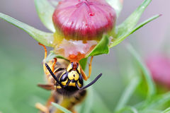 Wasp on a flower Stock Photos