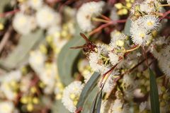Wasp on a flower of eucalyptus Stock Images
