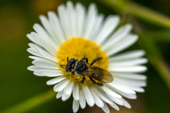 Wasp on flower. Wasp feeding on white daidy flower Royalty Free Stock Photography