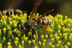 Wasp on Flower. A wasp gathering pollen on a dill flower Royalty Free Stock Photography