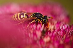 Wasp on a flower Stock Image