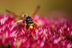 Wasp on a flower Stock Images