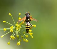 Wasp on a flower. macro. In the park in nature Royalty Free Stock Photo