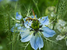 Wasp on flower nigella Royalty Free Stock Photo